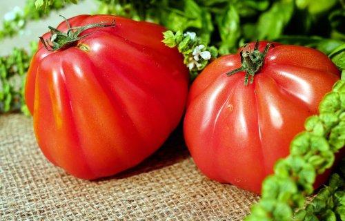 kokopelli tomate bio