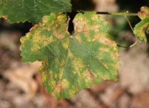 pesticides - cuivre- et agriculture bio : attaque de mildiou
