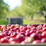 Pourquoi les pommes polonaises envahissent le marché français