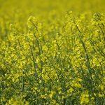 Agroécologie : transition, révolution, ou saut dans le vide ? Le cas des méligèthes du colza #3