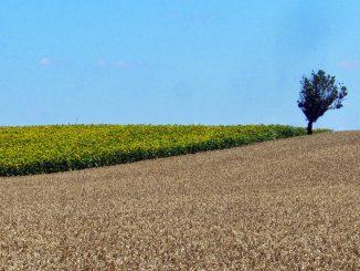 Champ de blé tendre, plaine - Crédit photo _ @lafonf (2)